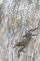 Squareback marsh crab (Armases cinereum) (42796447235).jpg