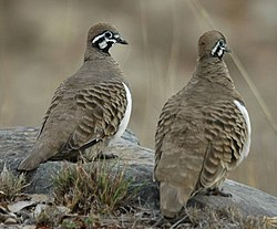 Squatter Pigeons Cement Mills.JPG