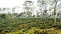 Srimongol Tea Garden,Bangladesh (শ্রীমঙ্গল চা বাগান).jpg
