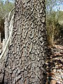Starr-031013-0023-Acacia mangium-bark-Hamakuapoko-Maui (24555842622).jpg