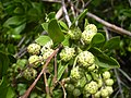 Starr-040117-0057-Conocarpus erectus-fruit-Ukumehame-Maui (24068806334).jpg