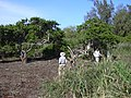 Starr-040122-0042-Schinus terebinthifolius-Americorps removing debris-Kanaha Beach-Maui (24579469302).jpg