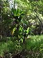 Starr-041113-0641-Cordyline fruticosa-habit-Makawao Forest Reserve-Maui (24692748736).jpg