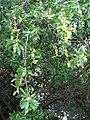 Starr-070727-7615-Conocarpus erectus-leaves and fruit-Ala Moana Beach Park-Oahu (24796688001).jpg