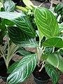 Starr-080103-1393-Aglaonema sp-Snow Cap habit-Lowes Garden Center Kahului-Maui (24806328191).jpg