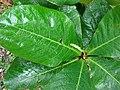 Starr-080607-7241-Terminalia catappa-leaves-Medical clinic Sand Island-Midway Atoll (24287654284).jpg