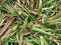 Starr-090317-4832-Anthoxanthum odoratum-habit-Kahakapao Reservoir LZ Haleakala Ranch-Maui (24652618750).jpg