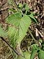 Starr-090523-8467-Salvia coccinea-leaves-Ulupalakua-Maui (24589126659).jpg