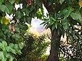 Starr-090709-2493-Thespesia populnea-habit with brush fire-Puamana-Maui (24850187172).jpg
