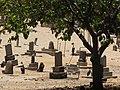 Starr-090709-2523-Cordia subcordata-habit view Puupiha cemetery-Lahaina-Maui (24342406543).jpg