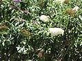 Starr-090721-3227-Buddleja davidii-white flower form-Wailuku Heights-Maui (24877098161).jpg