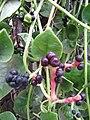 Starr-090806-3823-Basella alba-fruit and leaves-Wailuku-Maui (24971374995).jpg