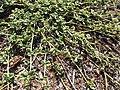 Starr-091106-9345-Boerhavia sp-habit-Kanaha Pond-Maui (24621444029).jpg