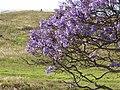Starr-100505-5991-Jacaranda mimosifolia-flowers-Kula-Maui (24407031184).jpg