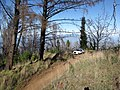 Starr-110105-9950-Sequoia sempervirens-habit with Explorer-Polipoli-Maui (25071715075).jpg