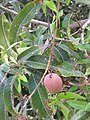 Starr-110215-1009-Mangifera indica-fruit and leaves-KiHana Nursery Kihei-Maui (24957049902).jpg
