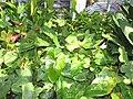 Starr-110215-1238-Anthurium andraeanum-habit-KiHana Nursery Kihei-Maui (24982588411).jpg