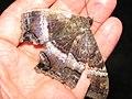 Starr-110309-3024-Paspalum conjugatum-habitat and black witch moth Ascalapha odorata-Olinda-Maui (24783560990).jpg