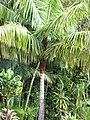 Starr-110330-3777-Dypsis leptocheilos-habit-Garden of Eden Keanae-Maui (24713049949).jpg