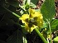Starr-110822-8261-Physalis philadelphica-flower-Hawea Pl Olinda-Maui (25077080016).jpg