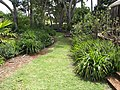 Starr-120508-5640-Dianella sandwicensis-native planting-MISC Piiholo-Maui (24515492813).jpg