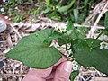 Starr-130316-2541-Fagopyrum esculentum-flowers and leaves-Huelo-Maui (25089283602).jpg