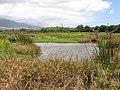 Starr-130703-5586-Bacopa monnieri-habit with stilts in pond-Kealia Pond-Maui (25101189772).jpg