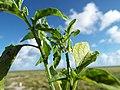 Starr-130915-1662-Solanum americanum-flower and leaves-Hardpan SW Inland-Laysan (24594832294).jpg