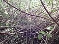 Starr-140909-1765-Hibiscus tiliaceus-thicket-Wailua-Maui (25219602806).jpg