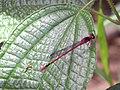 Starr-140909-1773-Clidemia hirta-leaves with Megalagrion blackburni-Wailua-Maui (25127616132).jpg
