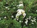 Starr-150323-0551-Lippia micromera-lflowers-Hawea Pl Olinda-Maui (24897795309).jpg
