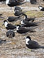 Starr-150403-0290-Coronopus didymus-Sooty Terns settling down-Southeast Eastern Island-Midway Atoll (24908456149).jpg