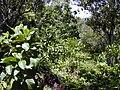 Starr 020518-0019 Cinchona pubescens.jpg