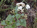 Starr 030405-0063 Ageratina adenophora.jpg