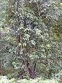 Starr 030405-0125 Nestegis sandwicensis.jpg