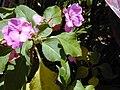 Starr 030418-0105 Impatiens walleriana.jpg