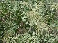 Starr 030424-0053 Chenopodium oahuense.jpg
