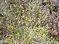 Starr 040331-0091 Cyperus cyperinus.jpg