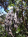 Starr 040723-0428 Sophora chrysophylla.jpg