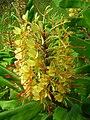 Starr 050817-3937 Hedychium gardnerianum.jpg