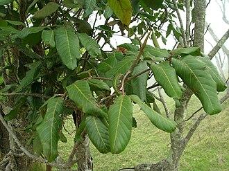 Alectryon macrococcus - A. m. var. auwahiensis