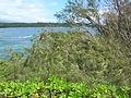 Starr 060422-7769 Casuarina equisetifolia.jpg