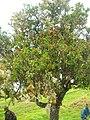 Starr 060429-9483 Santalum freycinetianum var. lanaiense.jpg
