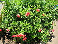 Starr 060820-8627 Hibiscus rosa-sinensis.jpg