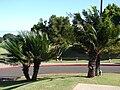 Starr 061211-2231 Cycas circinalis.jpg