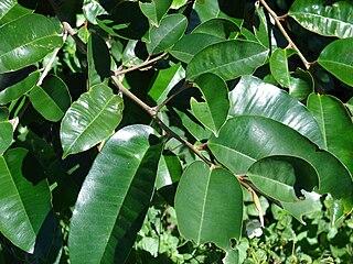 <i>Chrysophyllum</i> genus of plants