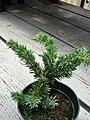 Starr 070906-9006 Juniperus procumbens.jpg