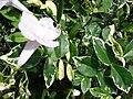Starr 080117-1976 Pandorea jasminoides.jpg