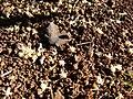 Starr 080812-9681 Psydrax odorata.jpg
