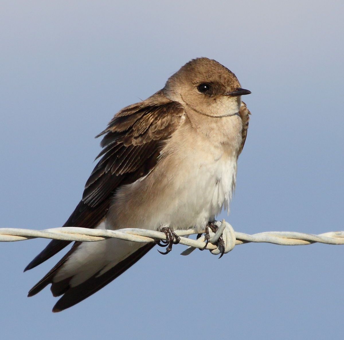 Northern rough-winged swallow - Wikipedia